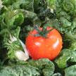 Tomato 940