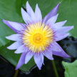 Waterlily 777