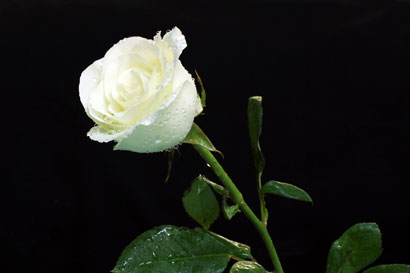 White Rose 947