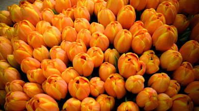 Orange Tulip 989