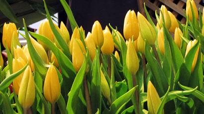 Yellow Tulip 990