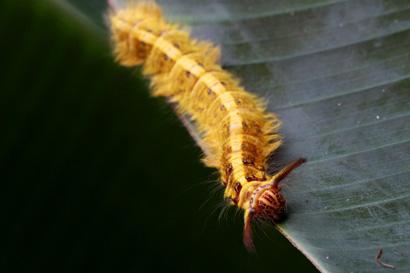 Hairy Orange Caterpillar 1022