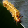 Hairy Orange Caterpillar 1022